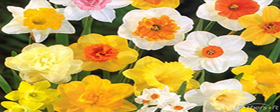 2017 Daffodil Distribution
